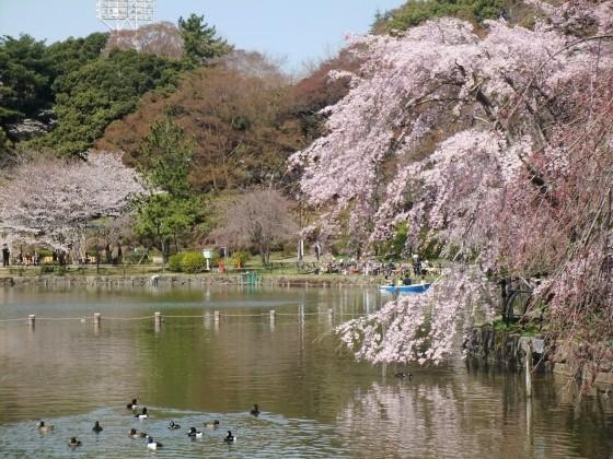 千葉公園(千葉県千葉市中央区)の桜 2011/4/6